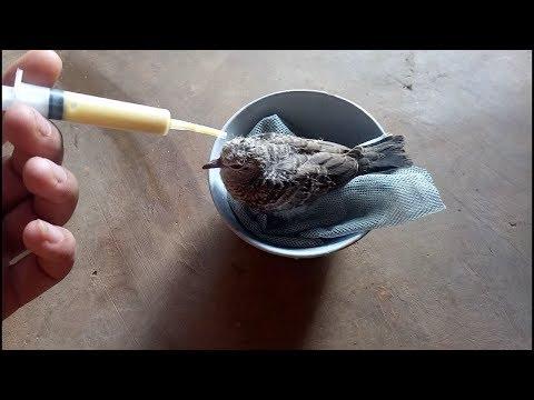 Cho chim cu non ăn bá đạo nhất quả đất