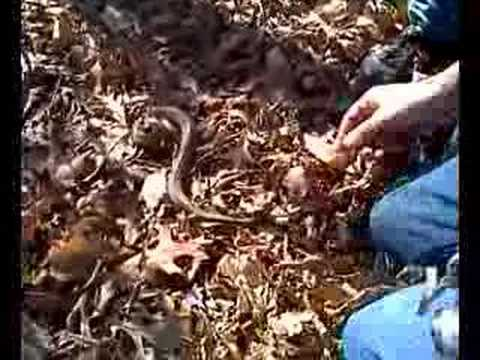 Aggressive Garter Snake