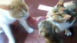 Две котки се карат за месо, докато трета си похапва