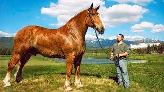 Video THE BIGGEST HORSES In The World MP3, 3GP, MP4, WEBM, AVI, FLV Februari 2019