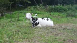 座ったまま草をたべるヤギさん