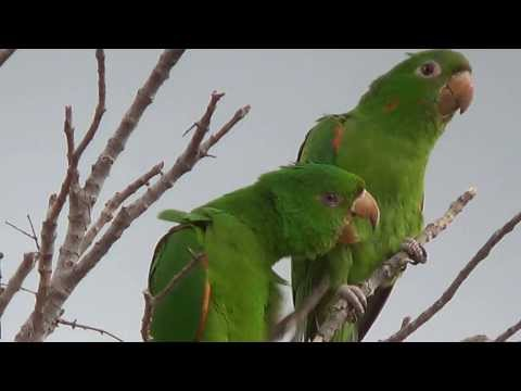 Maritacas - O namoro das maritacas, animal mating, Aratinga leucophthalma, Periquitão, Maracanã,