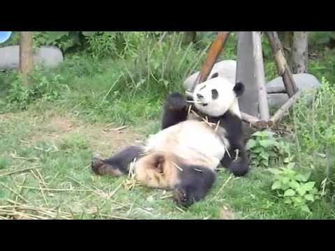 lazy panda -