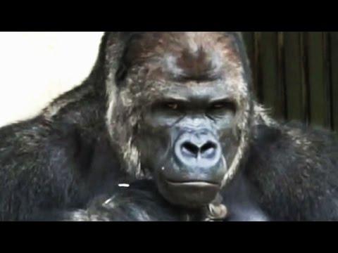 Anh khỉ đột gorilla đẹp trai đang Hot ở nước ngoài kìa :3