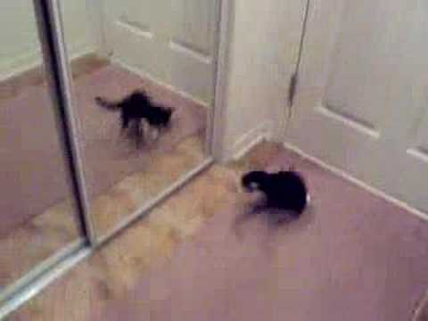 Kitten Attacks Mirror