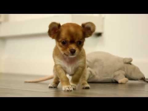 Unsere Chihuahua Welpen am spielen …