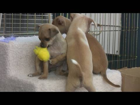 Chihuahua Puppies Play With Toys (in HD)