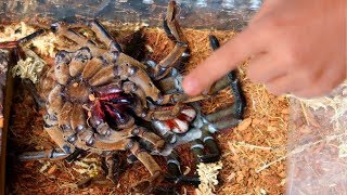 WORLDS LARGEST TARANTULA MOLTING!! RARE AND CREEPY!! | BRIAN BARCZYK by Brian Barczyk