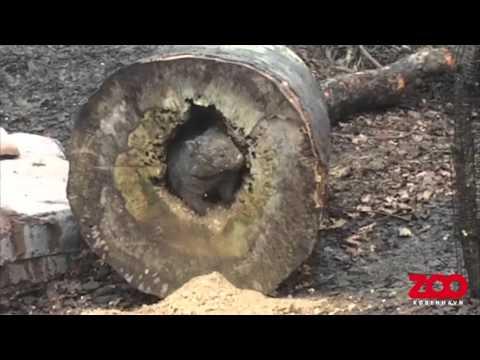 Вомбат роет ствол дерева - Копенгагенский зоопарк