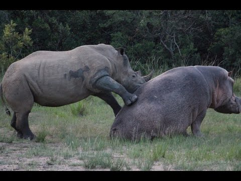 hippo - A rhino seems to be looking for love with the local hippos. There's kissing, horn rubbing, tusk displays, gentle biting, back rubs, rolling around, pushing, ...