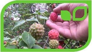 #1387 Leuchtend rote Früchte im Schattengarten - Cornus kousa