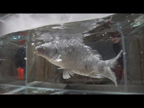 Mete a un pez en nitrógeno líquido para ver qué pasa