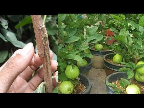 The most effective method to Graft a Guava Tree in Pot With Step by Step in Apple Ber Nursery.
