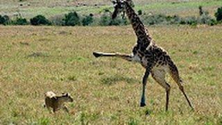 Video Giraffe kills lion  Giraffe attacks lion pride and kicks one of them to death MP3, 3GP, MP4, WEBM, AVI, FLV Agustus 2019