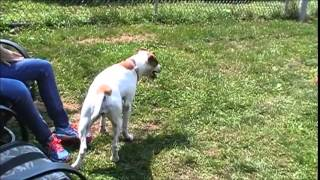 Dotti - Hound / Terrier / Mixed (short coat) Dog For Adoption