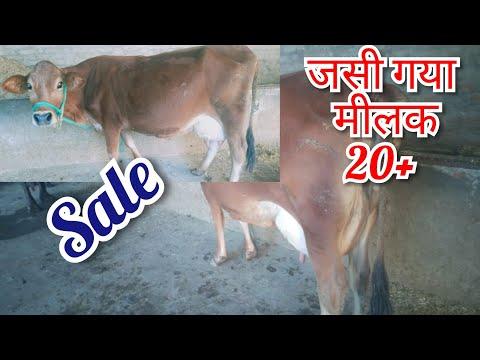 #Jersey cow#record milk 20 Ph 75269-11095👈 date 27-1-2020 Top ki Jersey cow sale