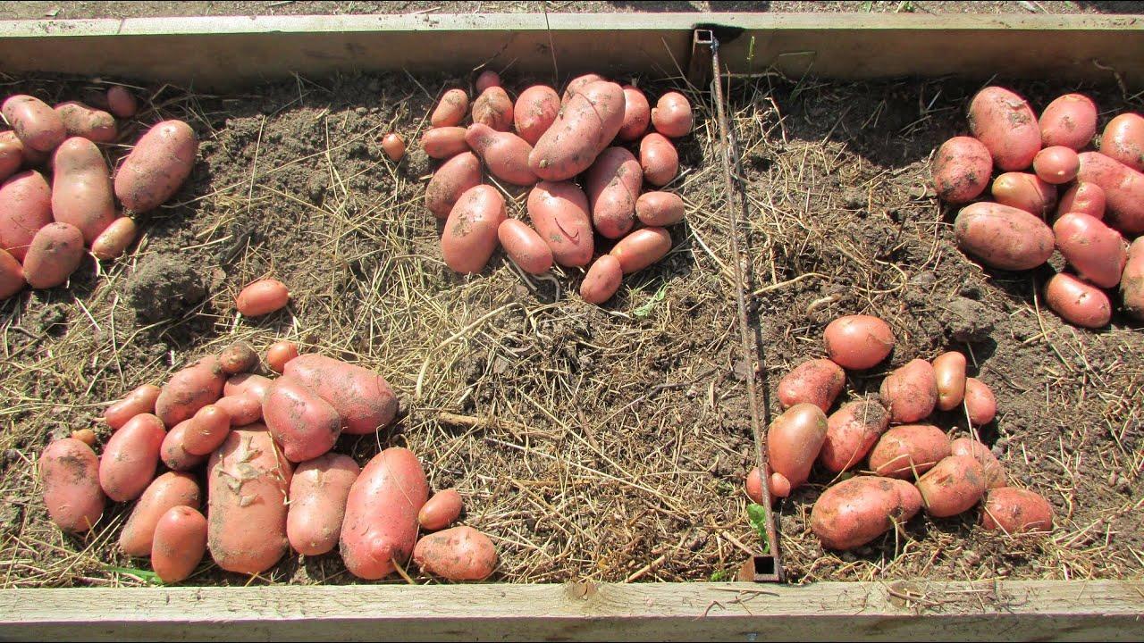 Смотреть онлайн:  Выращивание семенного картофеля в теплых грядках