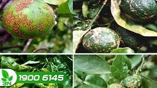 Trồng trọt | Thuốc đặc trị bệnh đốm đen và ghẻ cho cây quýt
