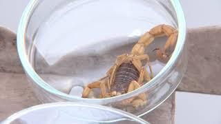 Escorpiões apavoram moradores do Jardim Redentor, em Bauru