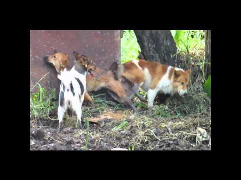 หีหมา - หมาที่บ้านเป็นสัด เมื่ออายุครบ 7 เดือน โดยมีแม่ของมันติวเข้มตลอดภารกิต...
