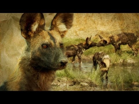 Painted Wolves: How Pack Mentality Ensures their Survival | BBC Earth