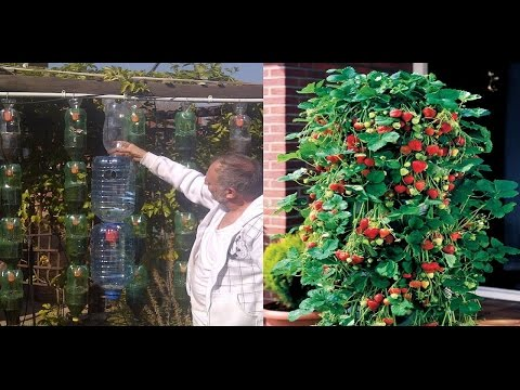 Idea genial para  cultivar fresas en botella de plástico en forma de pirámide