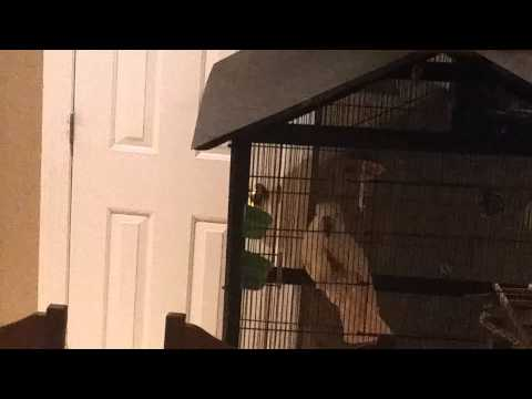 Our cockatoo barking like a chihuahua