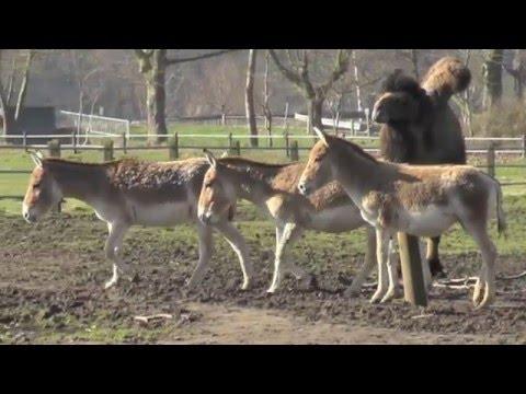 Kulane (Halbesel) - eine Unterart der Asiatischen Esel
