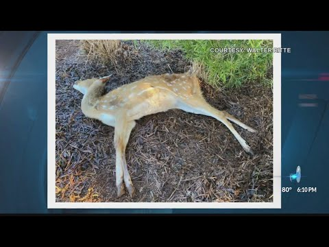 Dead deer causing health and safety issues for Molokai residents видео