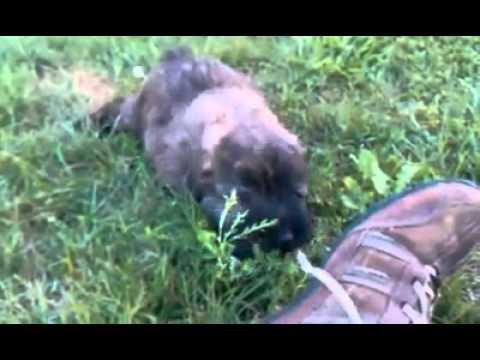 AKC Bouvier pup
