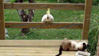 Video Cockatoo attacks cat MP3, 3GP, MP4, WEBM, AVI, FLV Juli 2019