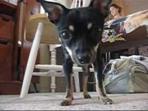 Luna The Chihuahua
