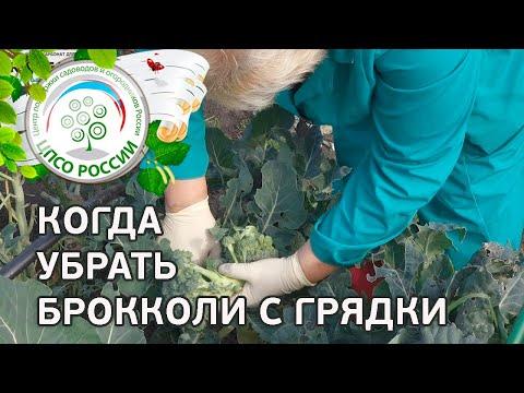 Последний сбор урожая капусты брокколи. Выращивание капусты брокколи.