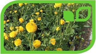Der scharfe Hahnenfuss (Ranunculus acris)