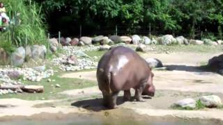 World's Biggest Fart - The Hippo =))