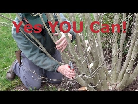 How to Prune Rose of Sharon (Hibiscus syriacus)