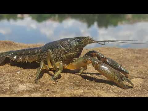 Flusskrebs: Klonarmee aus Marmorkrebsen breitet sich we ...