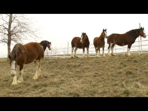 Behind The Scenes With The Clydesdales Prepping For Super Bowl Commercial