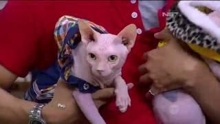 Download Video Kenapa Sih Kucing Jenis Sphynx Itu Mahal? MP3 3GP MP4