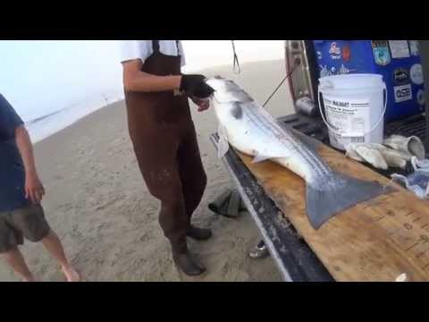 Trophy Stripers and Black Drum – Surf fishing VA