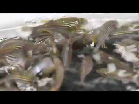 iSpawn - Zebrafish breeding at Children's Hospital Boston