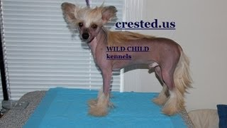 http://www.crested.us/ Best in Show kind, World Class quality Chinese Crested male at 10 months old - slate (tri-color) Chinese Crested Hairless HHL male with splendid furnishing and crest; Top Champion bloodlines, all background is of the famous champions and big dog show winners. Parents are imported to USA from Russia. Chinese Crested for sale, Hairless dog for sale, bold dog, world class chinese crested, dogs, pets, animals, pet, puppy, puppies, neapolitan mastiff, Wild Child Kennels. Enjoy! Hairless Chinese Crested, puppy for sale, Top Champion bloodlines, famous champion dog, dog show winner, import, USA dogs, Russian chinese crested, Chinese Crested for sale, hairless dog for sale, world class chinese crested, neapolitan mastiff chinese crested, Chinese Crested puppies, photos, pictures, gallery http://www.crested.us