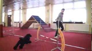 Ebi Miniature Poodle - Agility Training