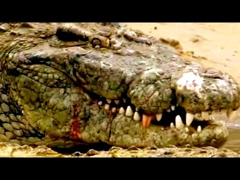CROCODILE DOCUMENTARY NATIONAL GEOGRAPHIC  ***HD Animal Video***