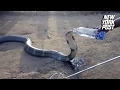 Thirsty cobra drinks directly from a man's water bottle | New York Post