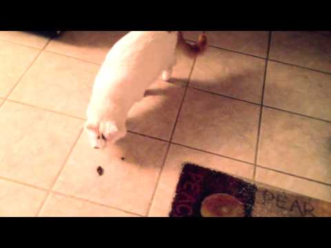 Fluffy Cat Tries To Bury Poop Accident On Floor!