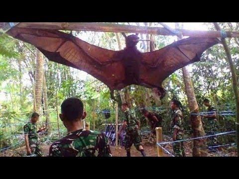 震撼!!超巨型蝙蝠被菲律賓軍方捕獲!!
