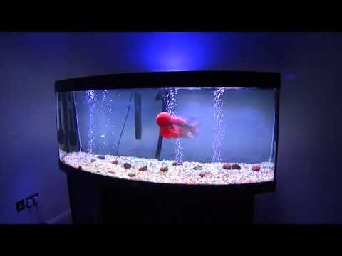 Flowerhorn - my 2 masterpiece flowerhorns..... red ferrari srd who is 1 year old now and 12.5 inches long ...... red mercury who is 10 months old now and 10 inches long !...
