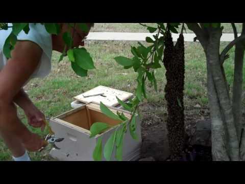 Hiving a swarm. Honeybee Swarm in April 26 by Tim Durham Sr.