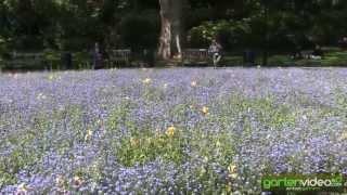 #1273 Pflanzidee - Vergissmeinnicht nach Tulpen